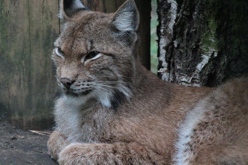 Lynx, Canadian Lynx, Felidae, Cat, Lynx Canadensis