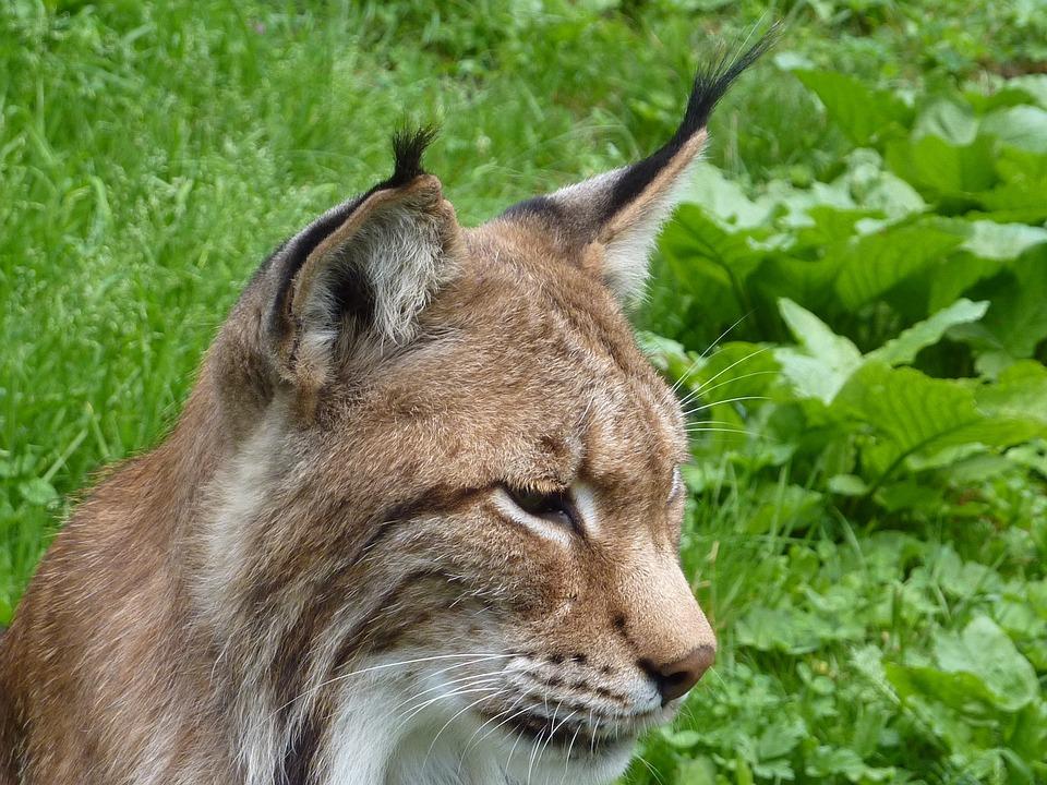 Lynx, Cat, Wildcat, Lynx Lynx, Animal, Felidae, Mammals