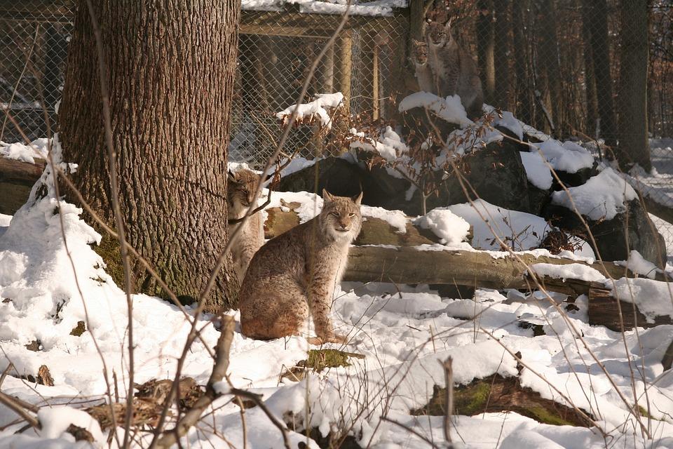Lynx, Lynx Lynx, Eurasischer Lynx, Cat, Wildcat