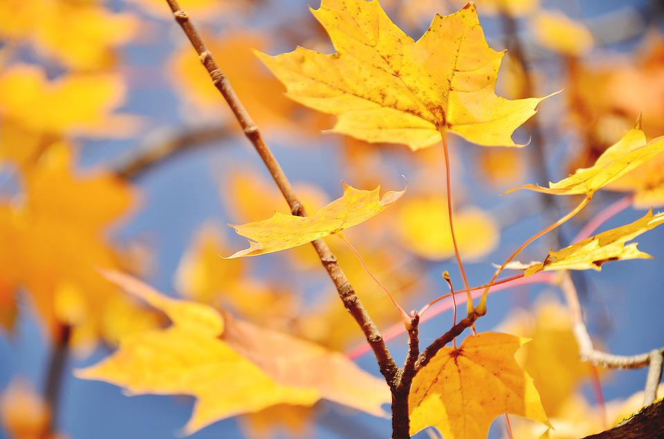 Autumn, Maple, Lyrics, Tree, Sky, Leaves, Nature