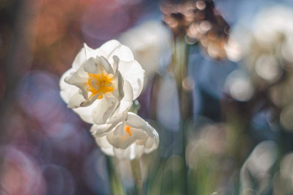 Spring, Flower, Daffodil, Bokeh, M42, Colors