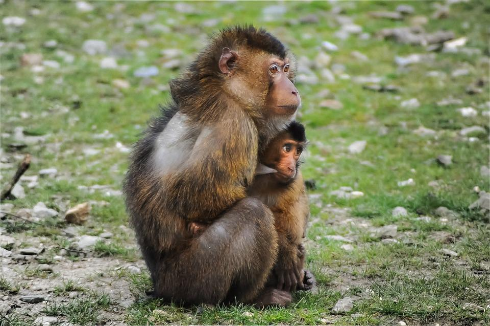 Barbary Ape, Ape, Barbary Macaque, Macaca Sylvanus
