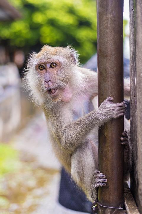 Macaque Monkeys, Ape, Thailand, Temple, Baby Monkey