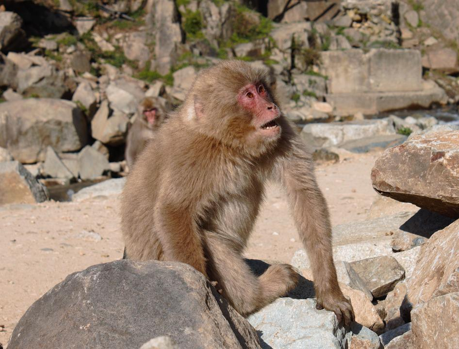Macaque, Snow Monkey, Japan
