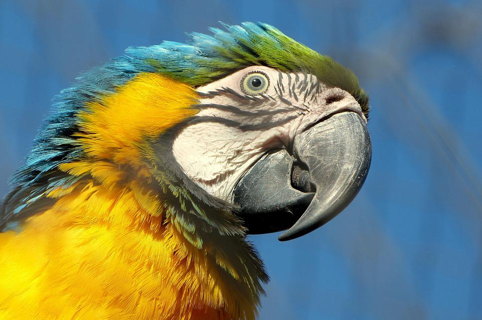 Macaw, Bird, Beak, Parrot