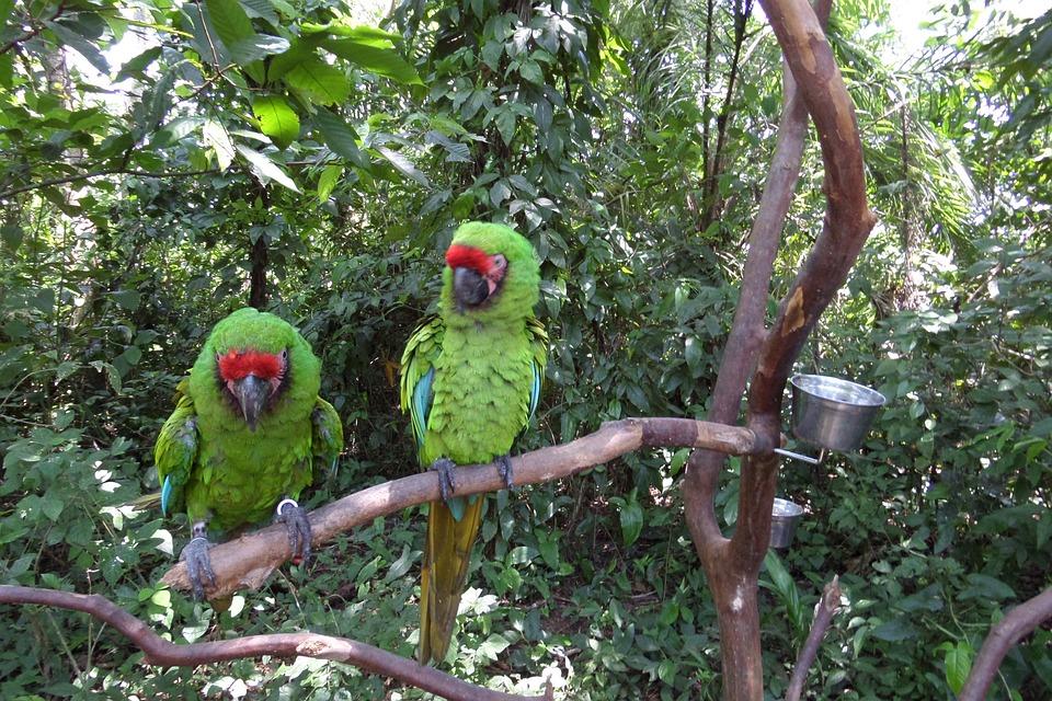Parrots, Macaw, Green