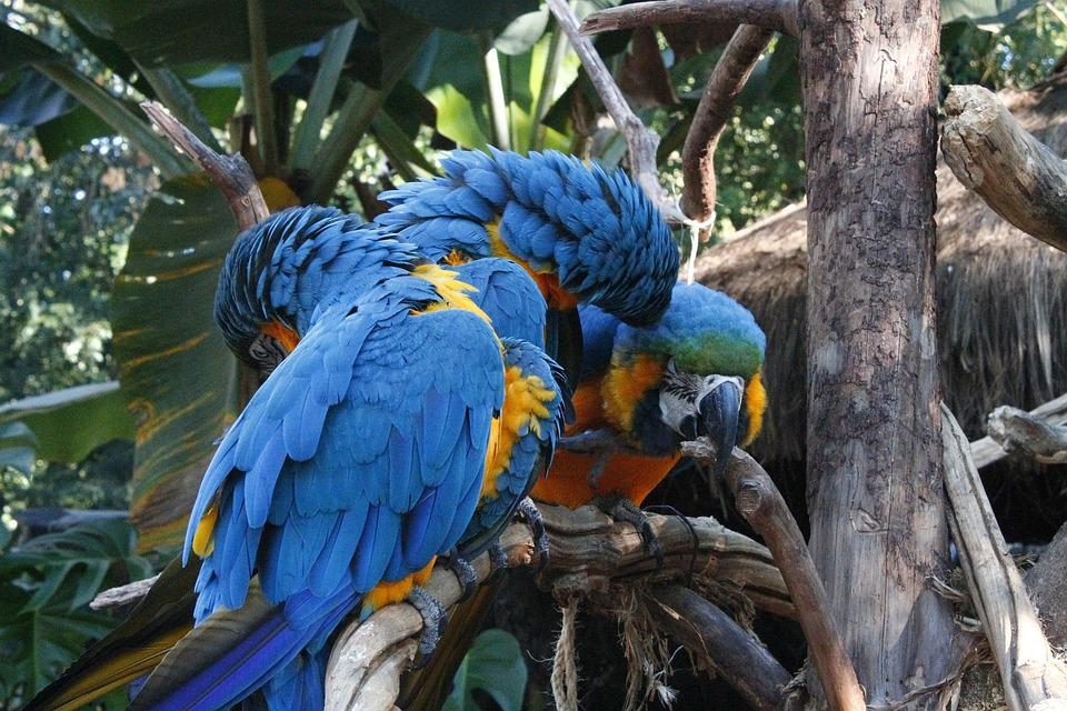 Macaws, Blue, Triangle, Amorous