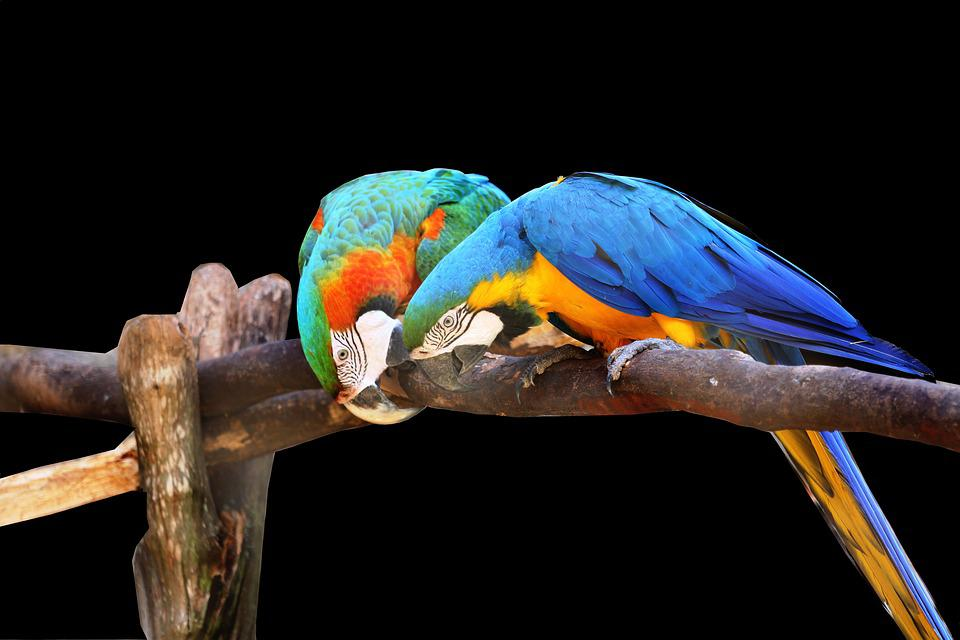 Macaws On Black Background, Bird, Colorful