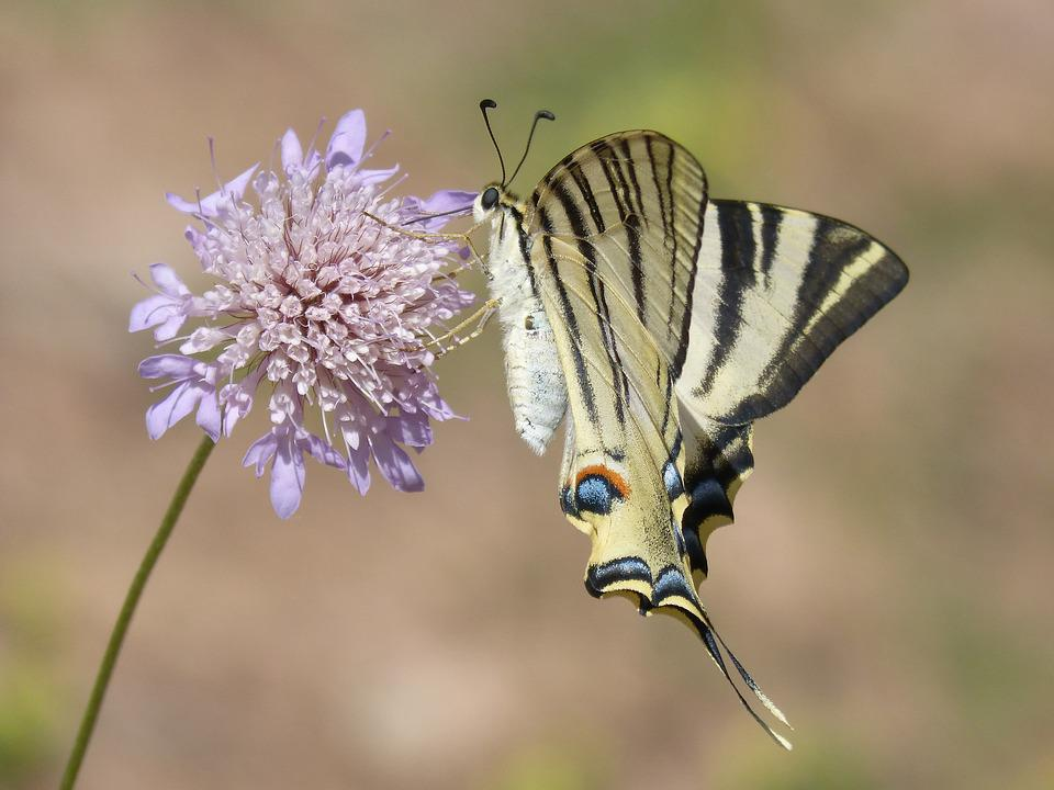 Papilio Machaon, Butterfly, Machaon, Papallona Queen