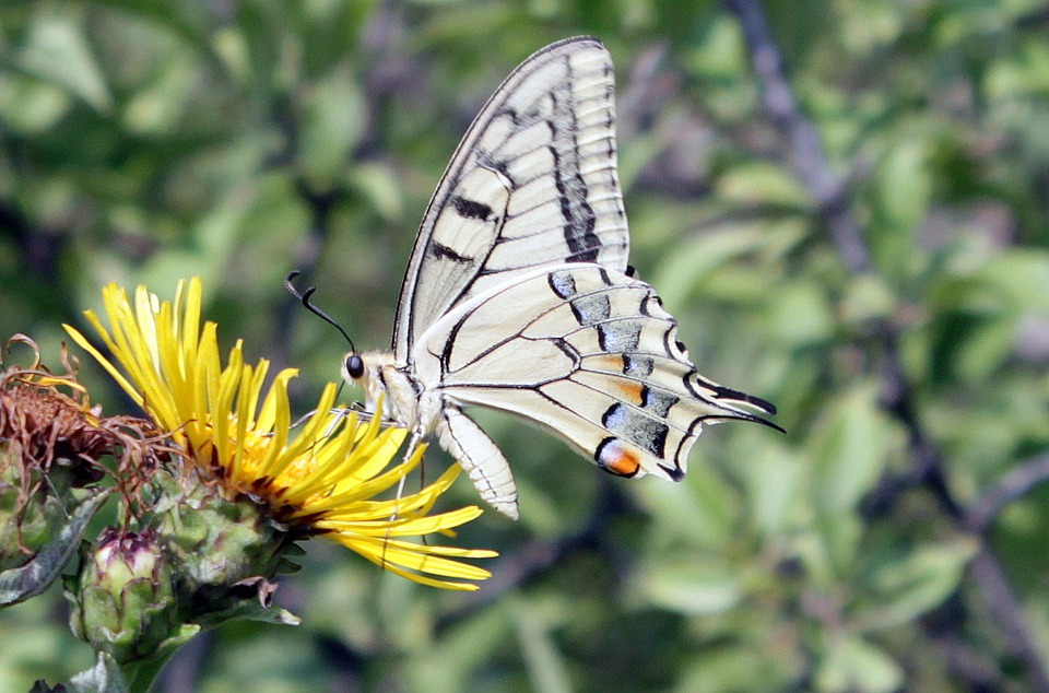 Butterfly, Lepidoptera, Machaon, Papilio, Papilionidae