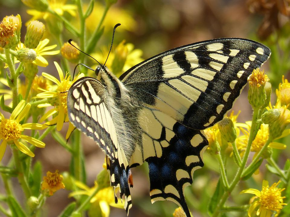 Machaon, Papilio Machaon, Butterfly, Butterfly Queen