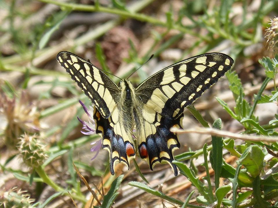 Machaon, Butterfly Queen, Flower, Libar