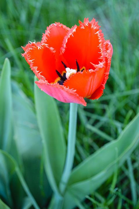 Maki, Tulip, Tulips, Red Flower, Red Flowers, Mack