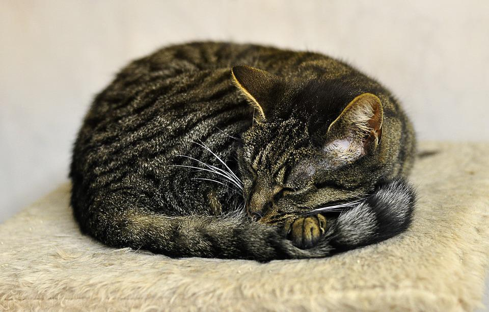 Cat, Relaxed, Mackerel, Animal Shelter, Animal Welfare