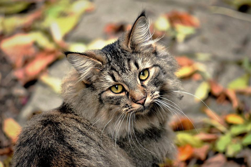 Cat, Neighbor's Cat, Wildcat, Mieze, Mackerel, Cat Face