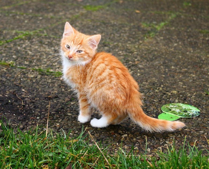 Kitten, Cat, Cat Baby, Red Mackerel Tabby, Mackerel