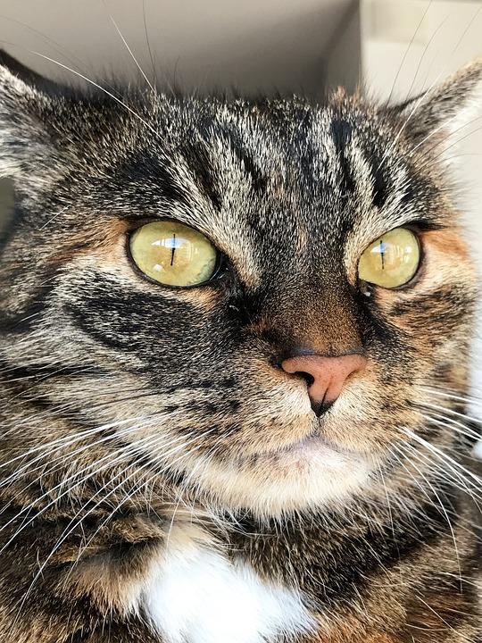 Cat, Animal, Mackerel, Pet, Mieze, Cute Cat, Cat's Eyes