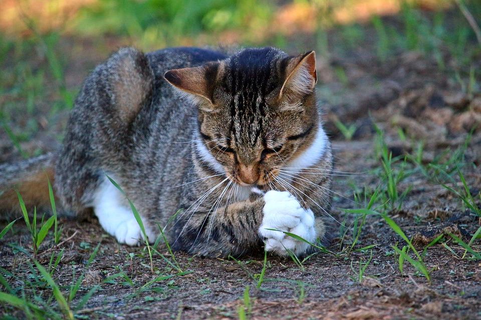 Cat, Kitten, Prey, Hunting, Mackerel, Tiger Cat