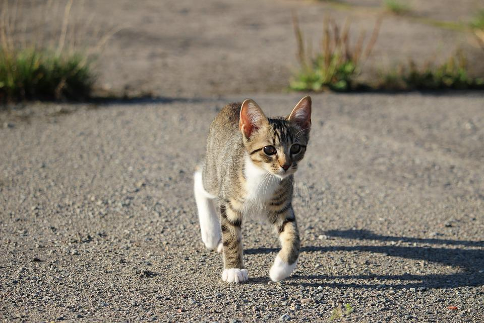 Cat, Kitten, Cat Baby, Mackerel