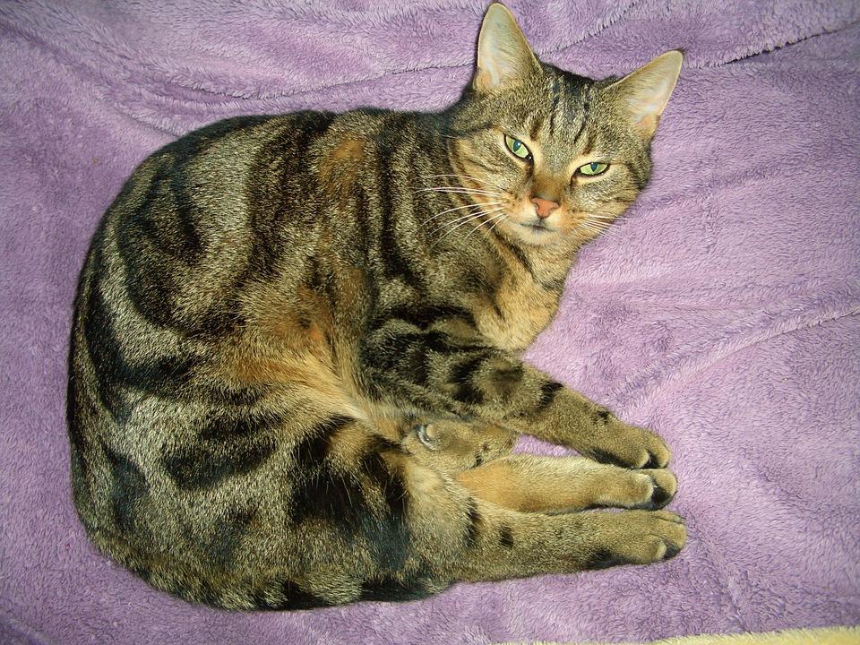 Cat, Sleep, Pet, Mackerel