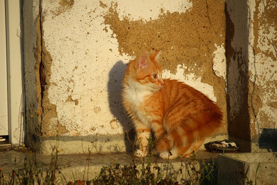 Cat, Kitten, Cat Baby, Young Cat, Red Cat, Mackerel