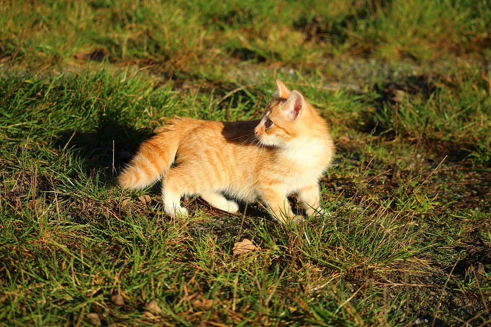Cat, Kitten, Cat Baby, Young Cats, Young Cat, Mackerel