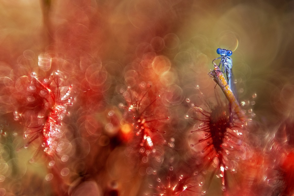Dragonfly, Sundew, Red, Plant, Closeup, Macro, Animals
