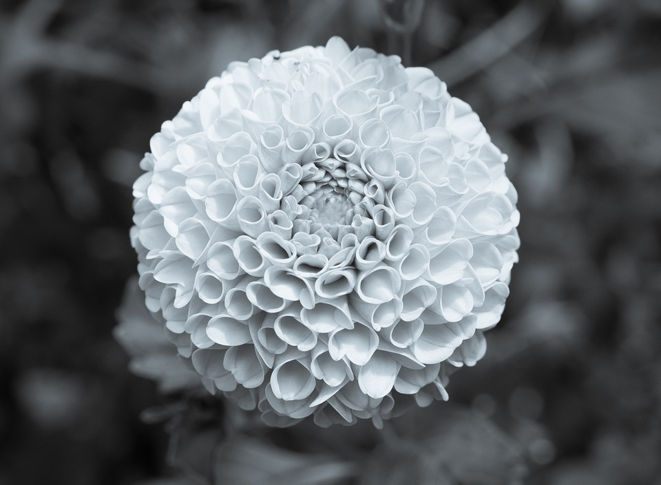 Free Photo Macro B W Black And White Marigold Petals Flower Max Pixel
