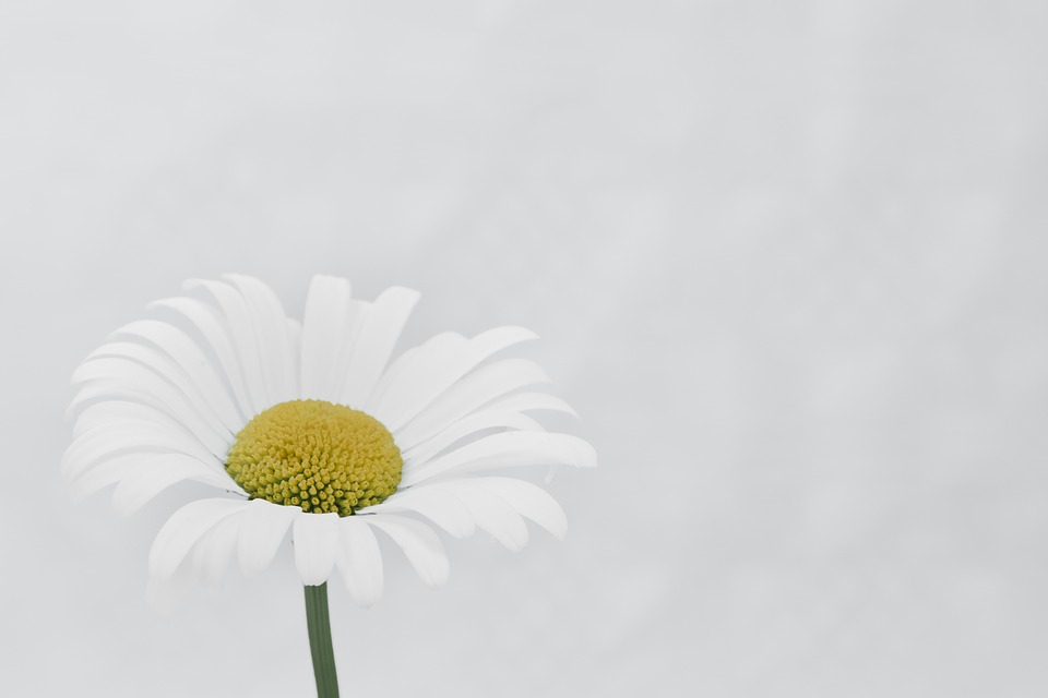 Marguerite, Flower, Macro, Beautiful Flower