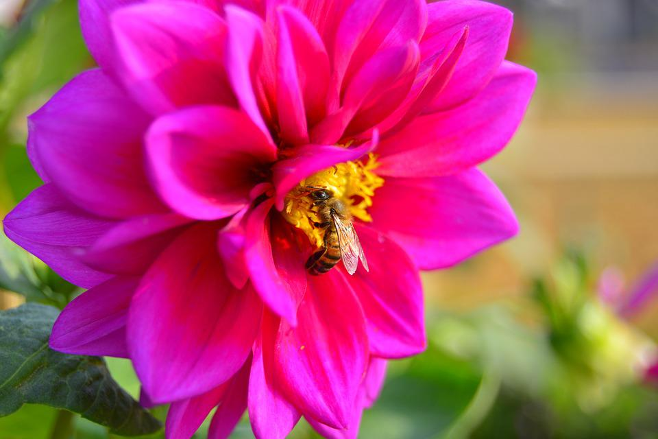 Bee, Ong, Flower, Dahlia Flowers, Violet, Macro