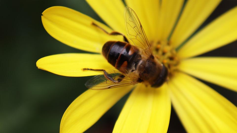 Bee, Nature, Insect, Pollen, Macro, Honey Bee, Flower