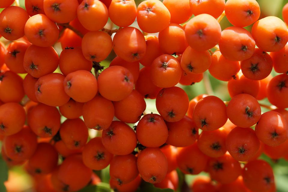 Mountain Ash, Red, Berries, Rowanberries, Close, Macro