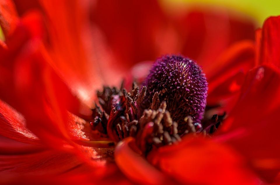 Poppy, Center, Macro, Flower, Nature, Bloom, Plant, Red