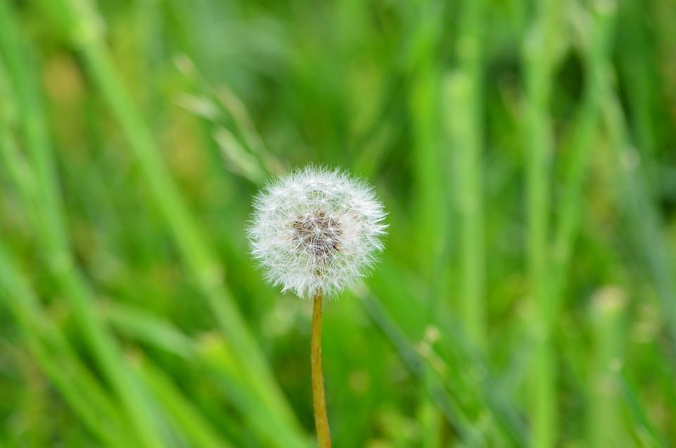 Nature, Dandelion, Weed, Seed, Flower, Macro, Blooming