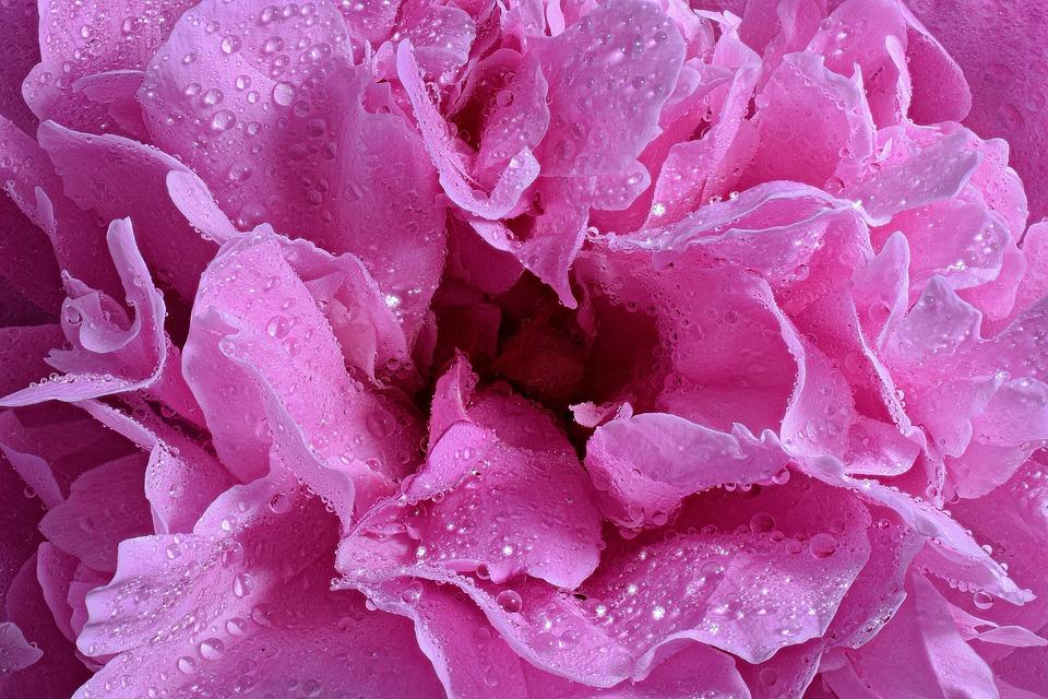 Rose Bloom, Rose, Blossom, Bloom, Close Up, Macro