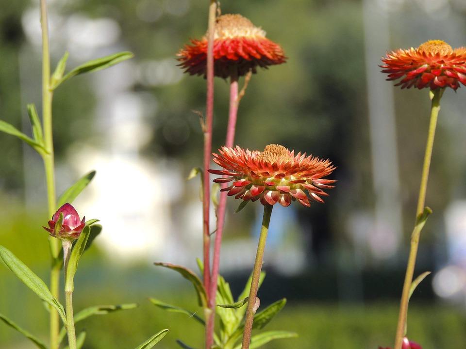 Flower, Red, Blossom, Bloom, Italicum, Macro