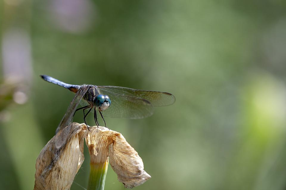 Blue Dasher Dragonfly, Dragonfly, Insect, Macro, Nature