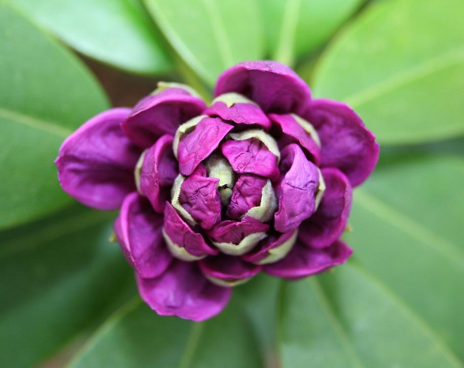 Rhododendron, Flower, Bud, Bloom, Macro, Purple, Plant