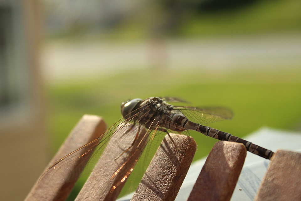 Dragonfly, Macro, Nature, Insect, Wings, Bug, Wildlife