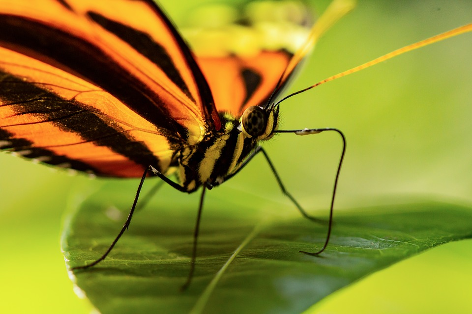 Butterfly, Macro, Leaf, Monarch, Striped, Insect