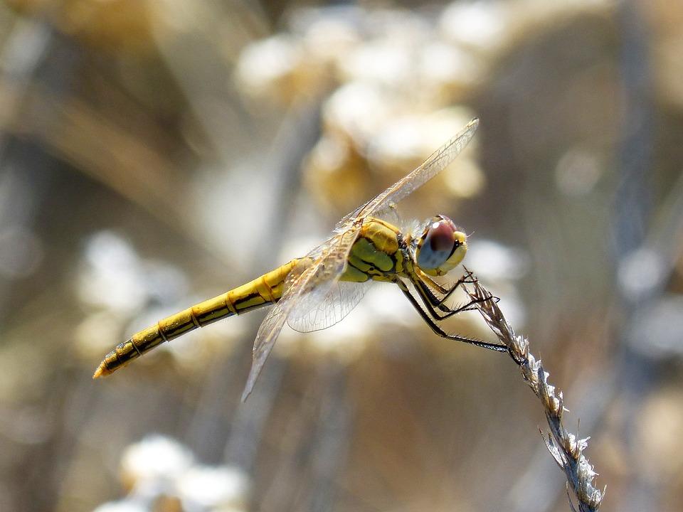 Dragonfly, Insect, Libelulido, Character, Macro