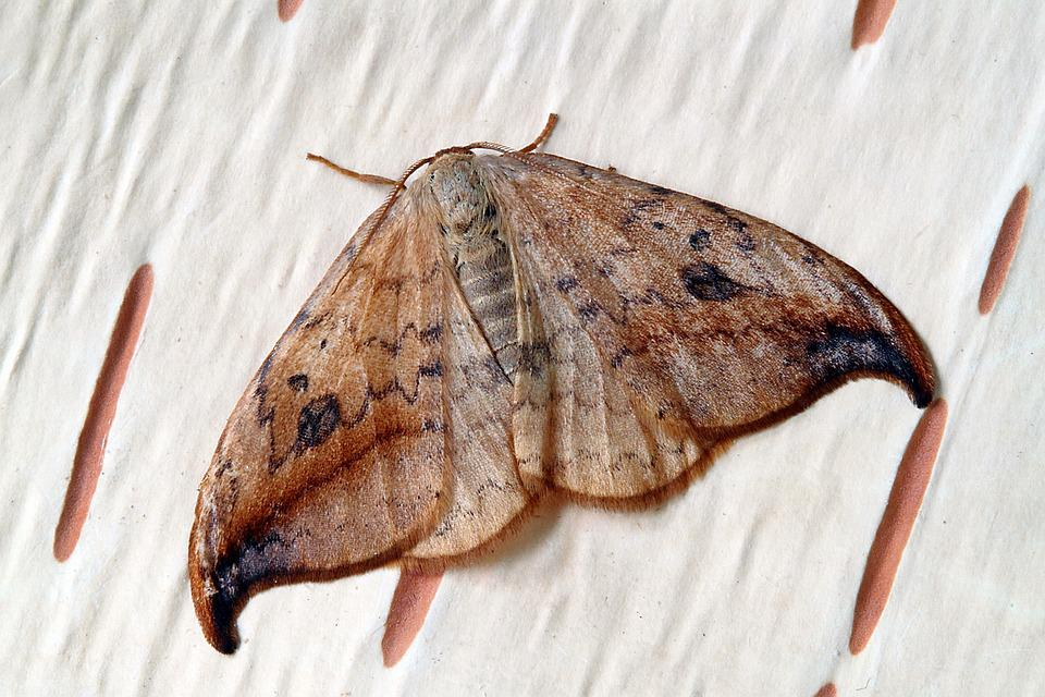 Moth, Macro, Insect, Close, Wing