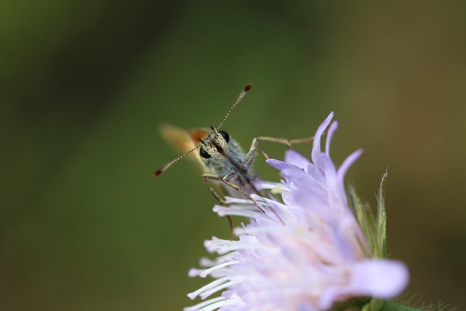 Skipper, Butterfly, Insect, Nature, Close Up, Macro