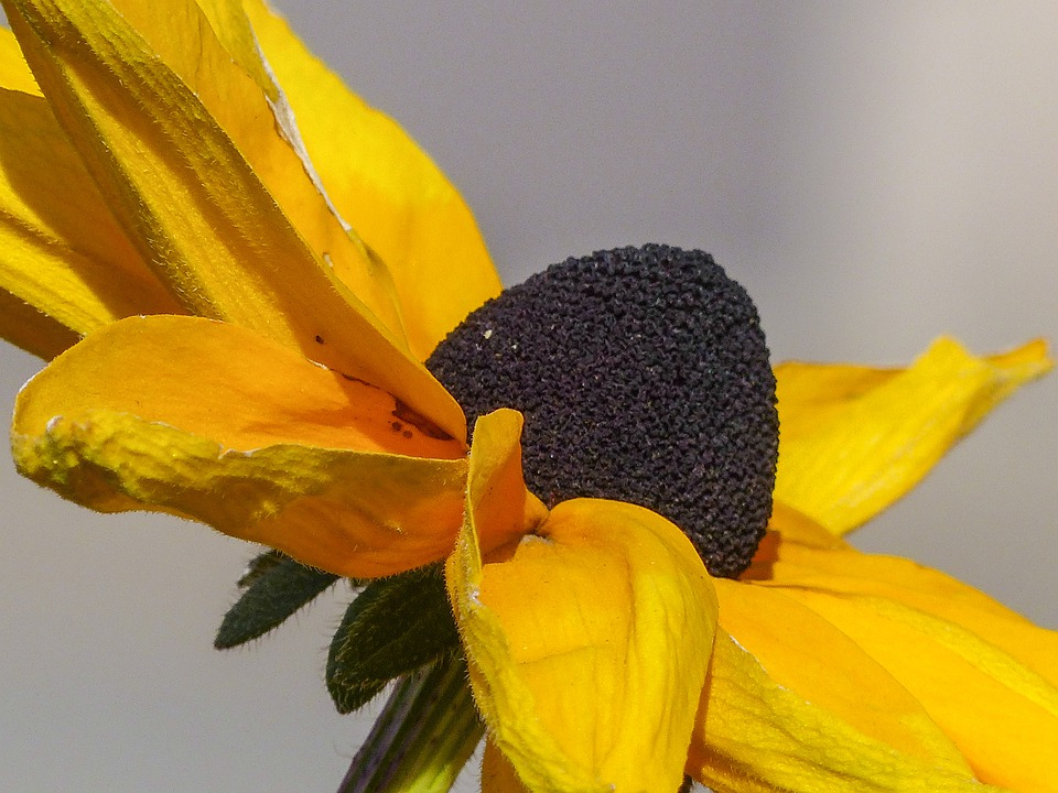 Cone Flower, Plant, Nature, Yellow, Macro, Close-up