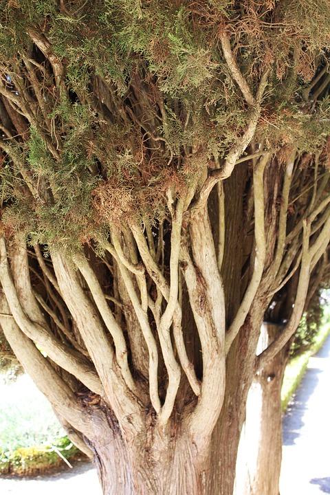 Pine, Tree, Conifer, Branch, Coniferous Tree, Macro