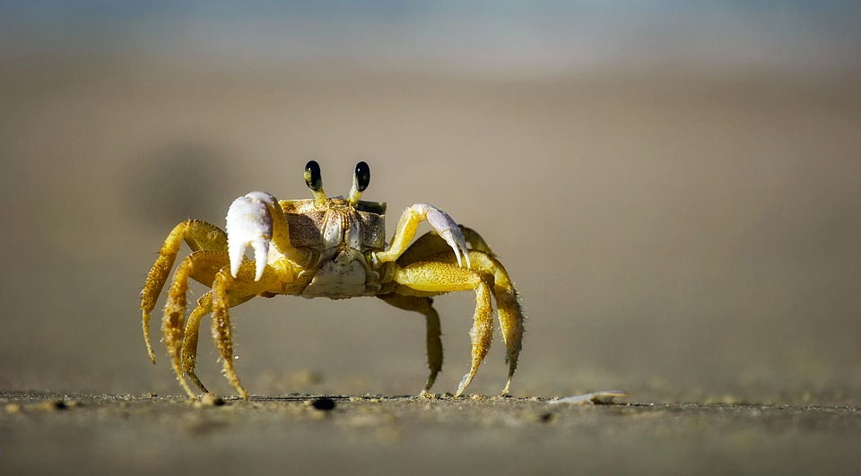 Crab, Beach, Sand, Macro, Closeup, Crawling, Eyes, Hdr