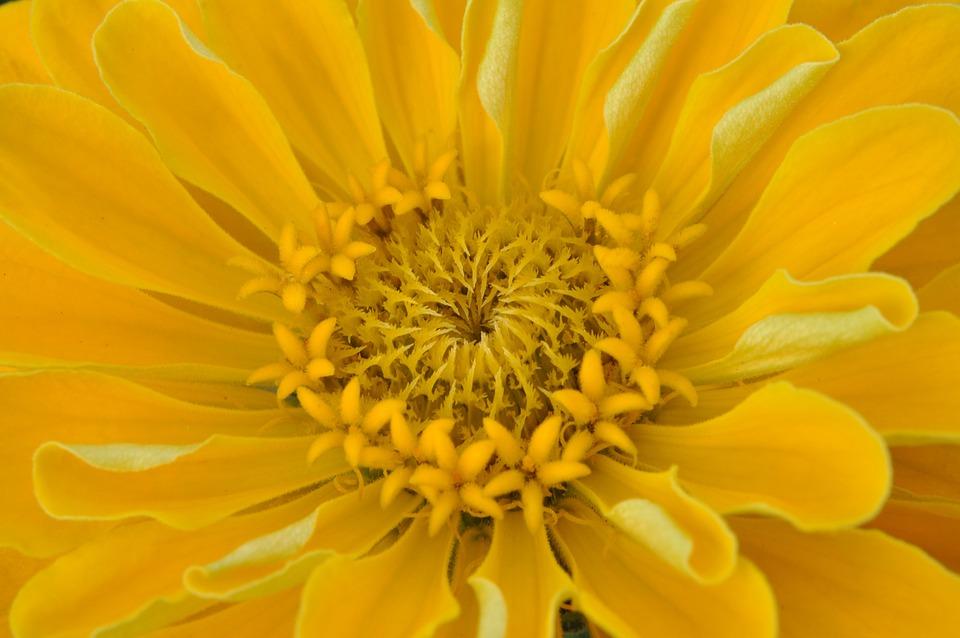 Macro, Dahlia, Yellow, Petals, Close