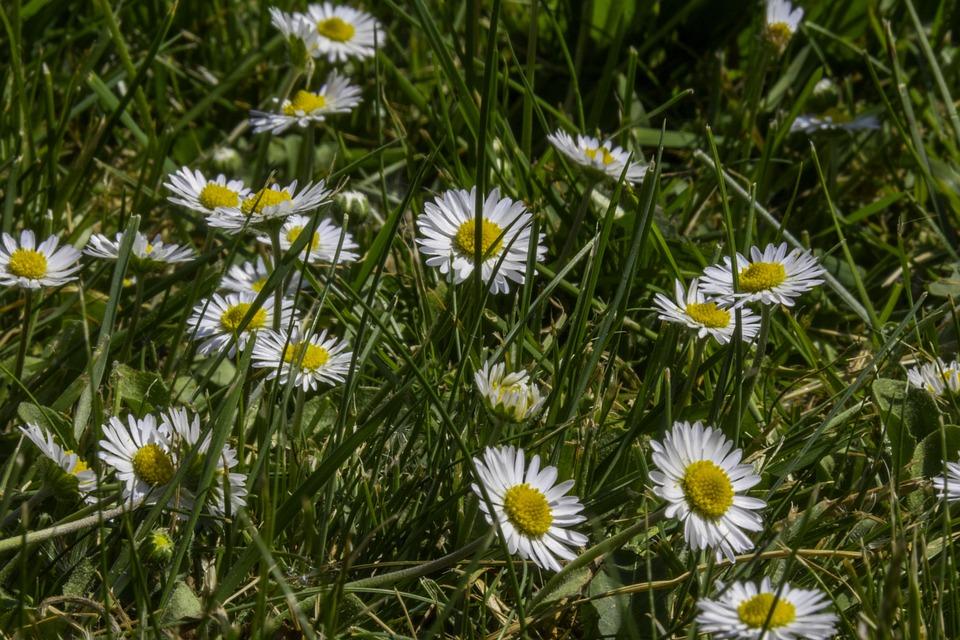 Grass, Daisy, Macro, Green, If, Yellow, Lawn
