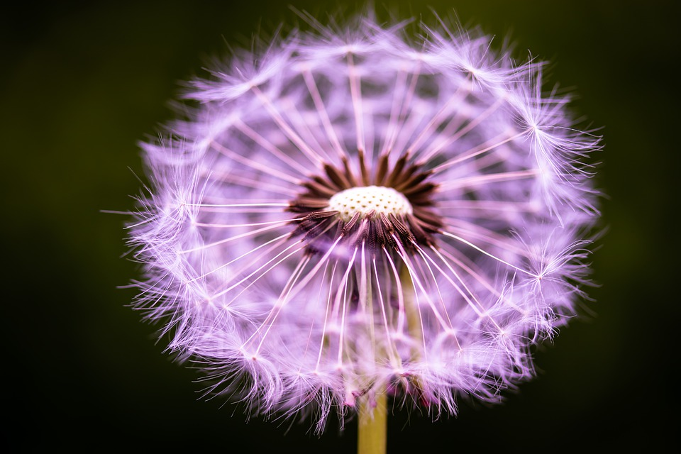 Dandelion, Flower, Seeds, Close Up, Macro, Flying Seeds