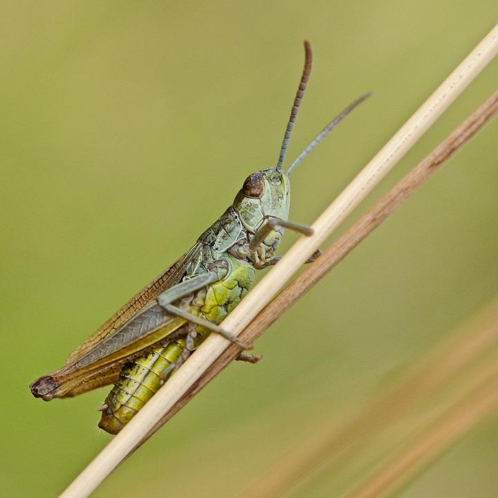 Desert Locust, Insect, Macro